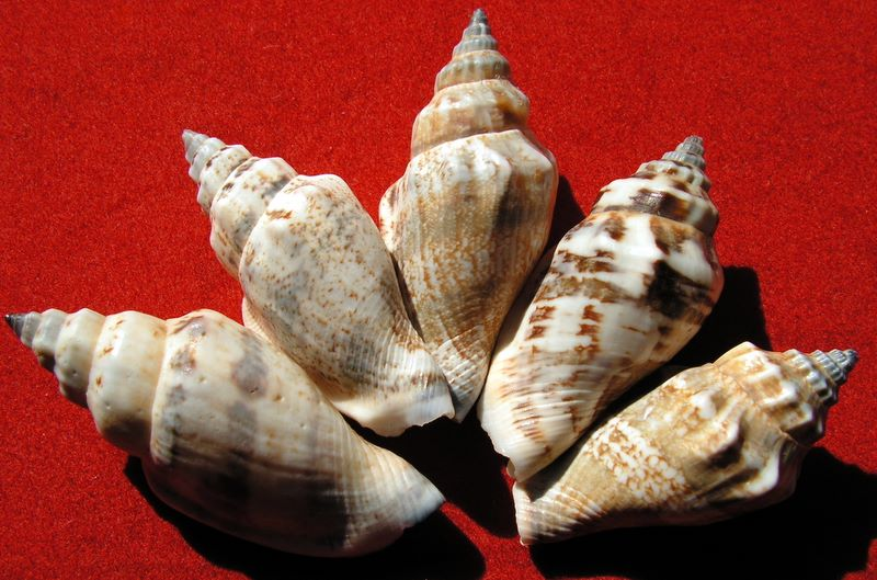 Canarium urceus - (Linnaeus, 1758)  Canaur12
