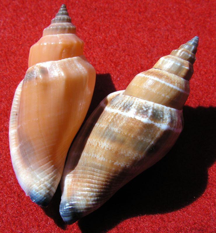 Canarium urceus - (Linnaeus, 1758)  Canaur13