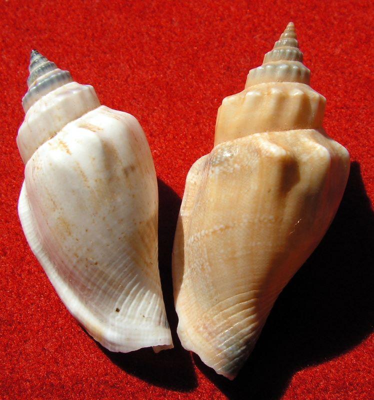 Canarium urceus - (Linnaeus, 1758)  Canaur22