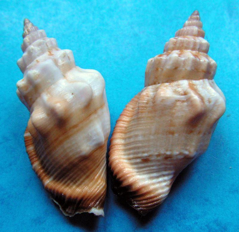 Canarium erythrinum - (Dillwyn, 1817) Canery11