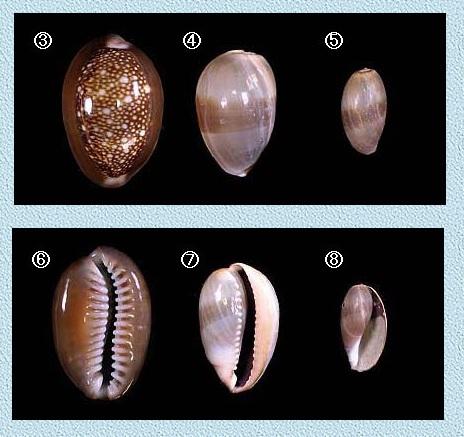 Monetaria_caputserpentis_(Linnaeus_1758)_juvénile Caput010