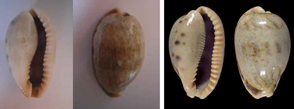 Erronea caurica elongata - (Perry, 1811) - Page 2 Cauric10