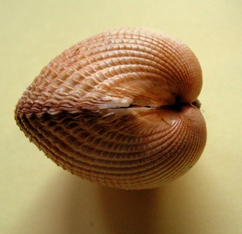 Cerastoderma edule - (Linnaeus, 1758)  Ceraed10