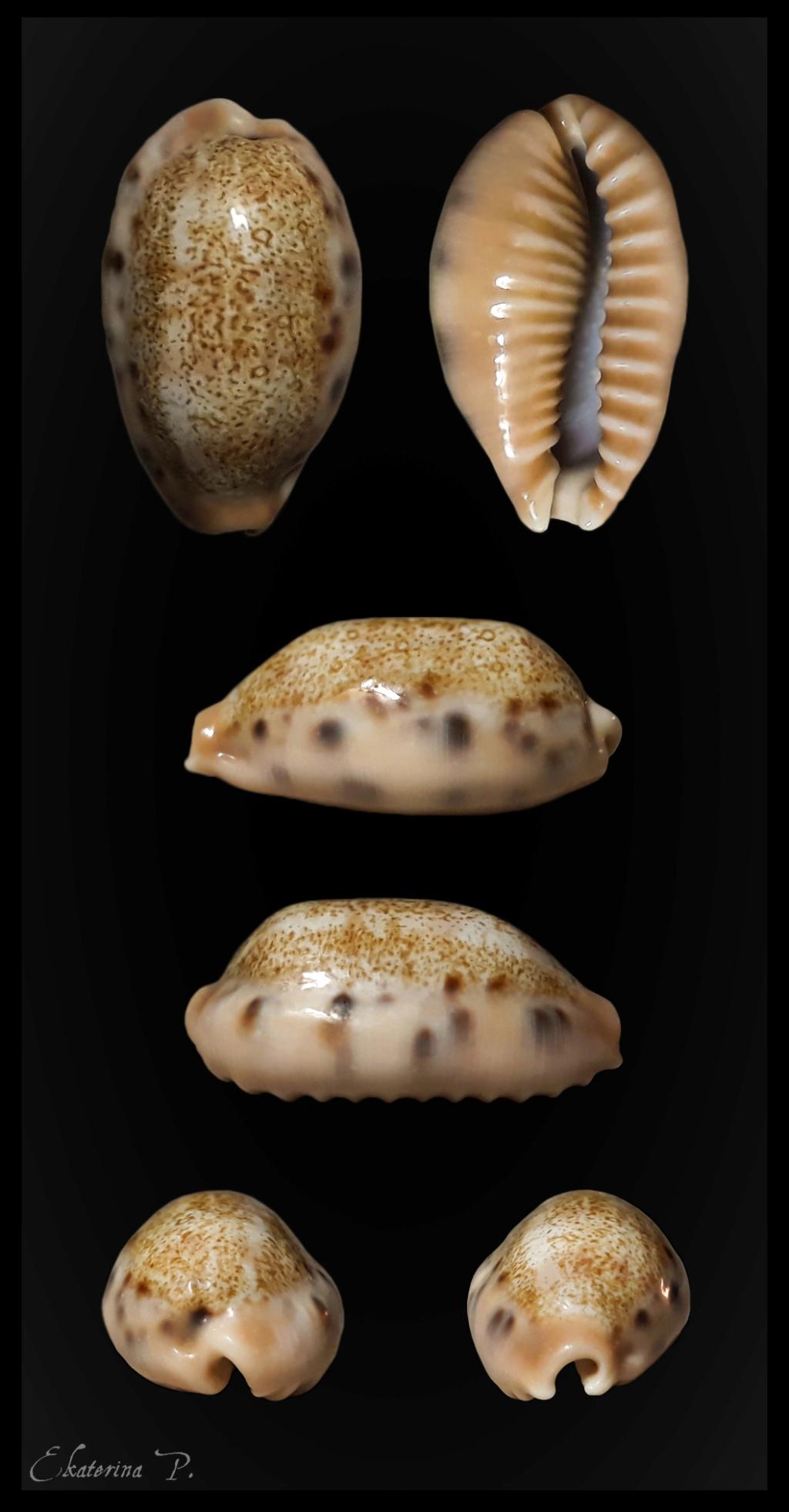 Erronea caurica chrismeyeri - Lorenz, 2017 Chrism11
