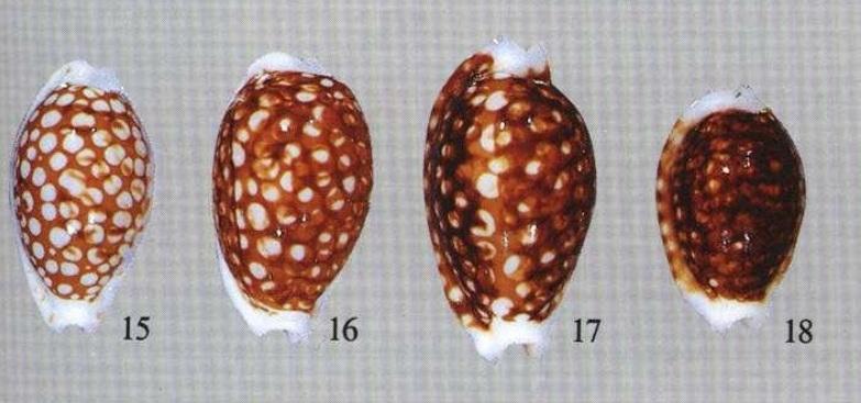 Cribrarula_cribraria_cribraria_(Linnaeus_1758) Cribr10