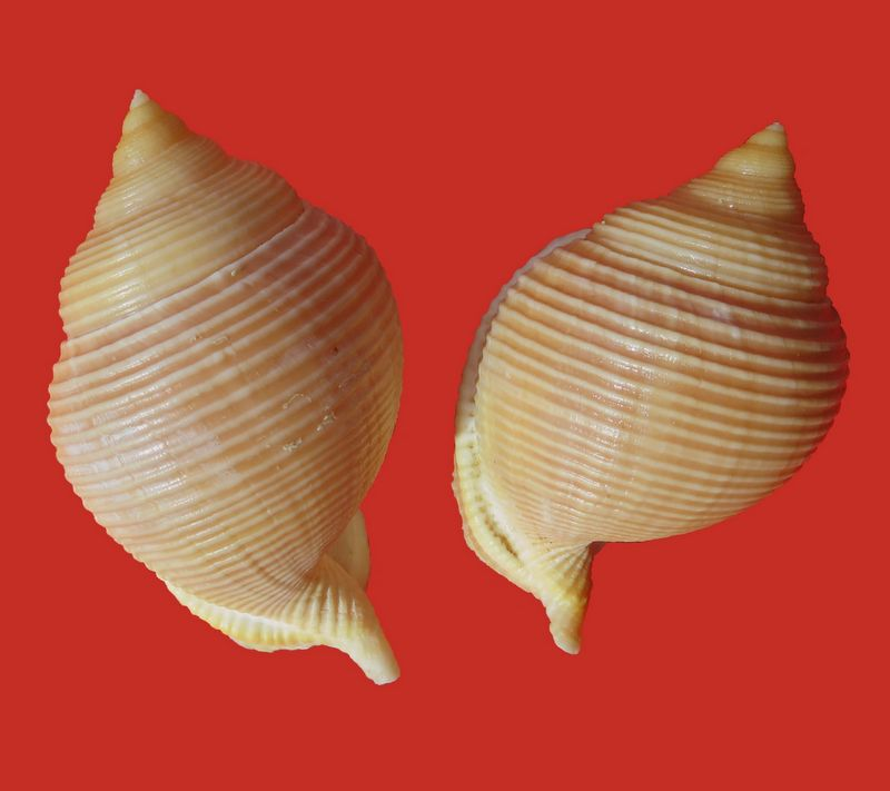 Galeodea rugosa - (Linnaeus, 1771) Galeru10