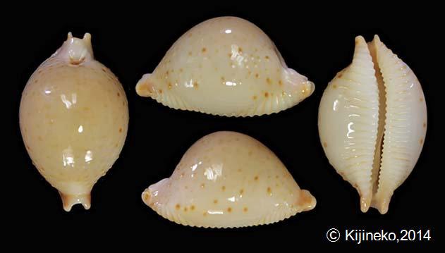 Pustularia cicercula tricornis - (Jousseaume, 1874) Gallar17