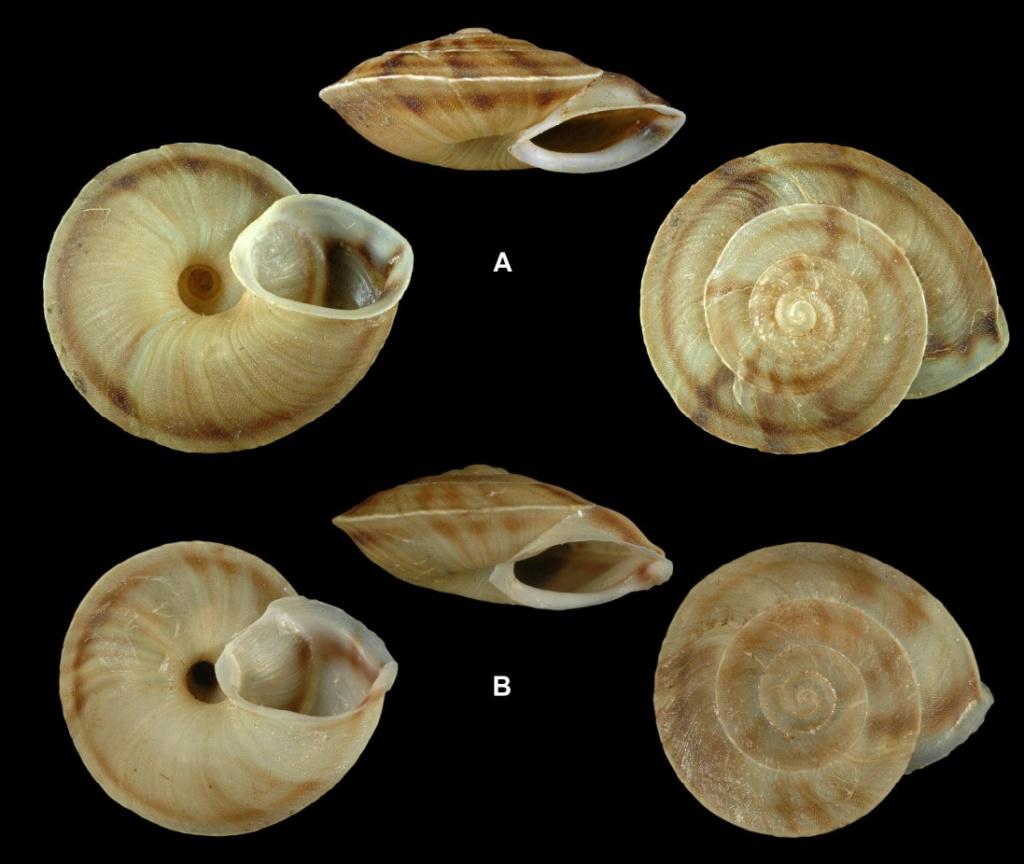 Helicigona lapicida lapicida et H. lapicida andorrica - la différence de sous-espèces Helici10
