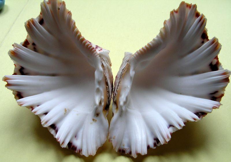 Hippopus hippopus - (Linnaeus, 1758)  Hipphi10