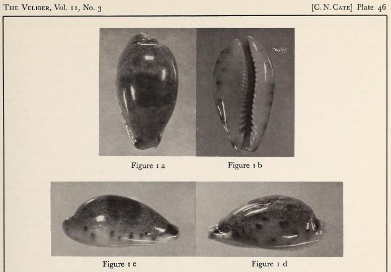 Erronea fernandoi - C. N. Cate, 1969 Holofe11
