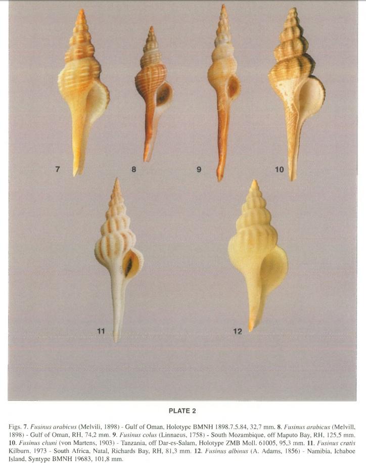 Fusinus chuni (E. von Martens, 1904) Illust10