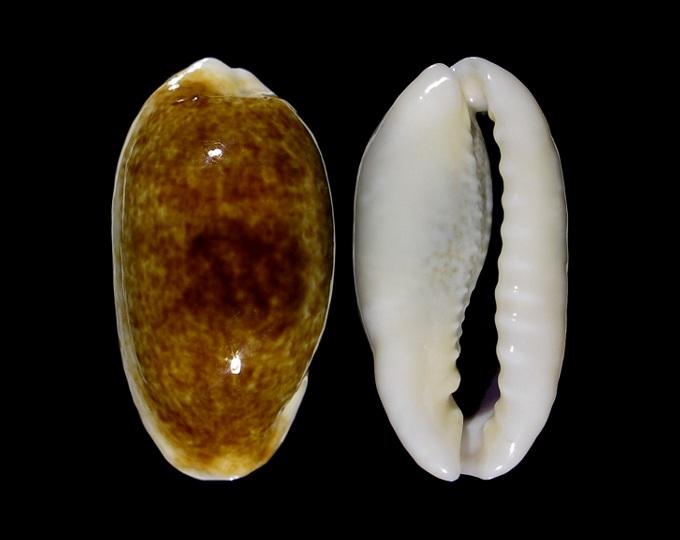 Erronea_errones_caerulescens_(Schröter_1804) Im393-10