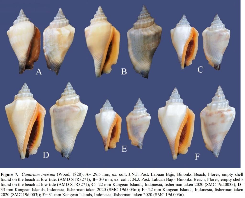 Canarium anatellum - (Duclos, 1844) Inc110