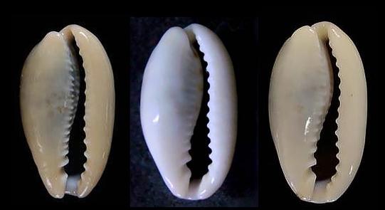 Erronea_errones_caerulescens_(Schröter_1804) Japaco11