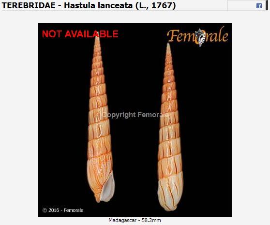 Hastula lanceata (Linnaeus, 1767) Lancel10