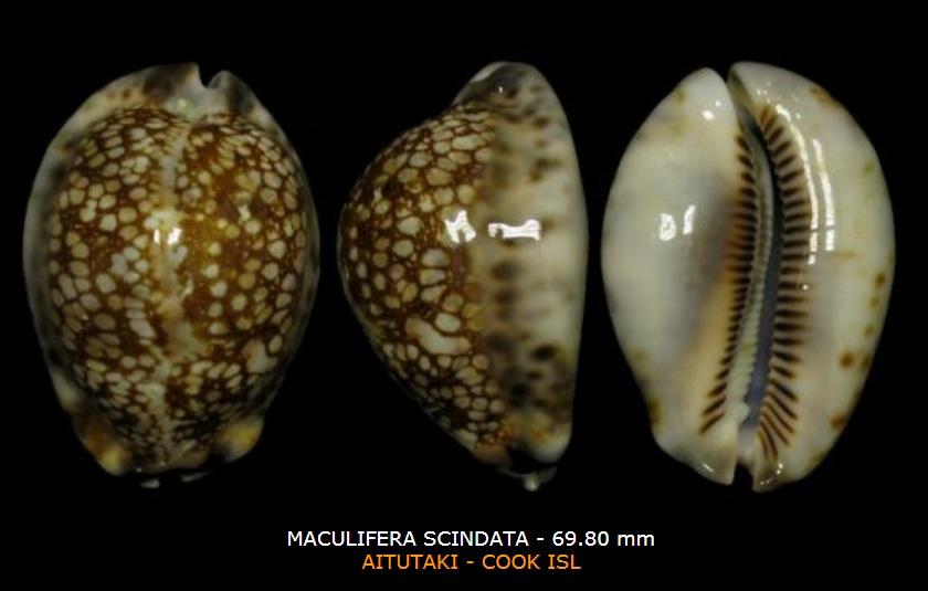 Mauritia maculifera scindata - Lorenz, 2002 - Page 2 Macul10