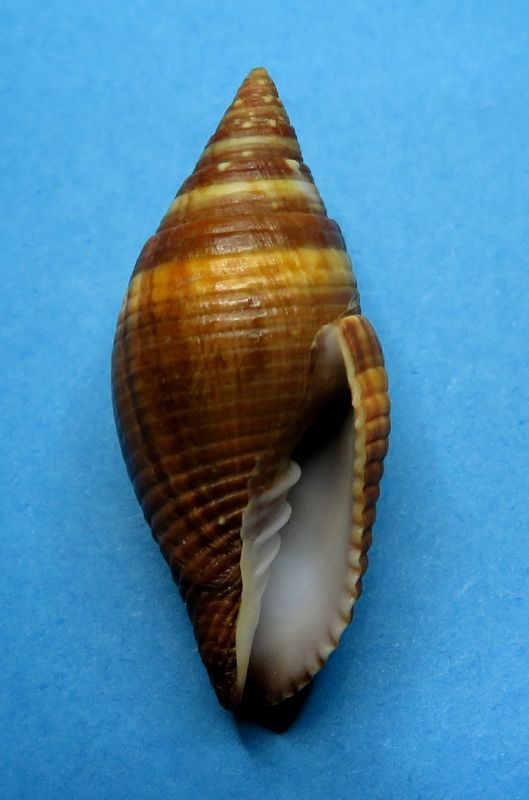 Strigatella aurantia - (Gmelin, 1791)  Mitrau11