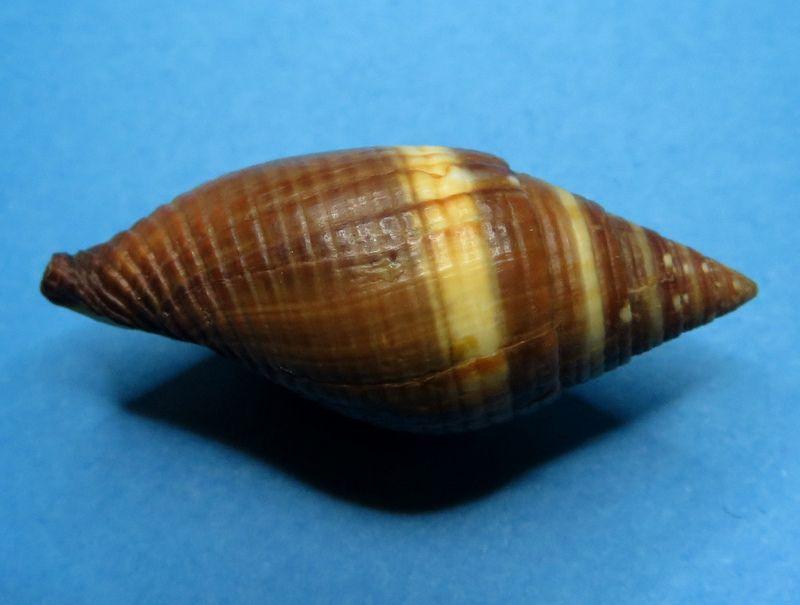 Strigatella aurantia - (Gmelin, 1791)  Mitrau13