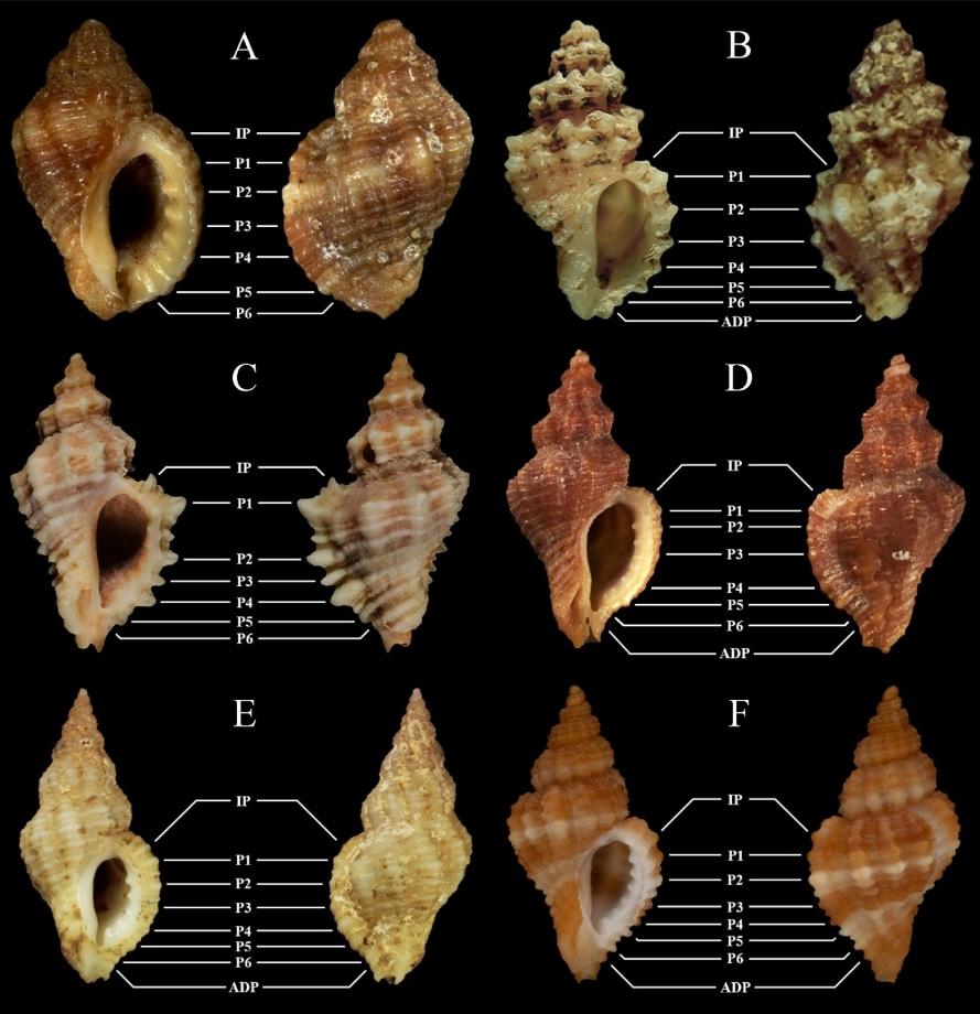 Ocenebra hispidula - (Pallary, 1904) Murici11