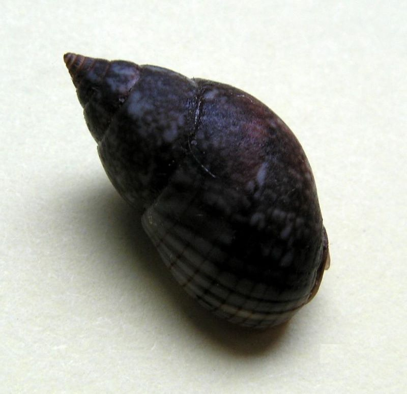 Nassarius_limnaeiformis_(Dunker_1847)_ou_Nassarius_marratii_(Smith_1876)_A_vérifier Naslim13