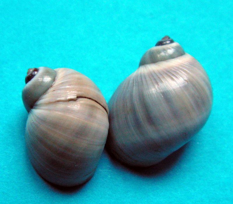 Notocochlis gualteriana - (Récluz, 1844) Natgua10