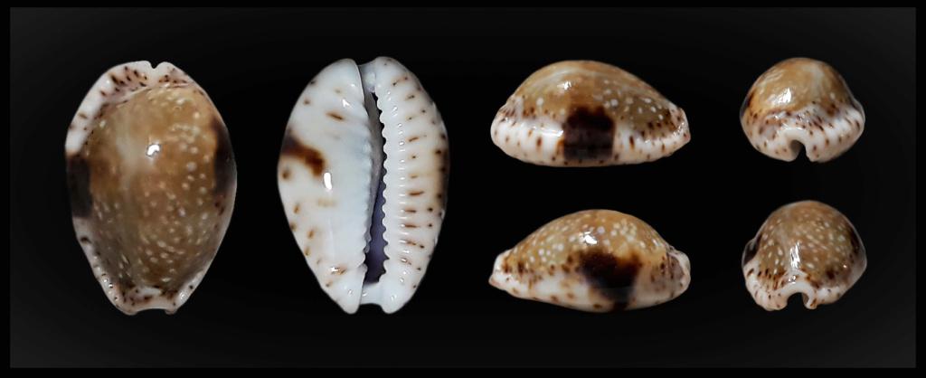 Naria nebrites f. erosaides Heiman, 2002 Nebrer11