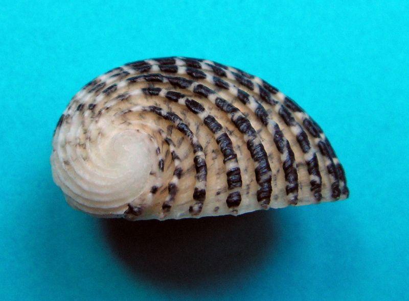 Nerita exuvia - Linnaeus, 1758 Nerexu11