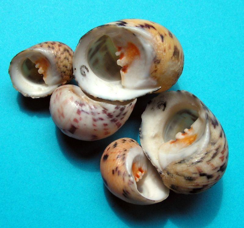 Nerita peloronta - Linnaeus, 1758 Neripe11