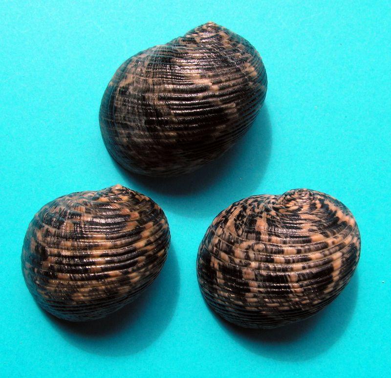 Nerita striata - Burrow, 1815 Nerist10