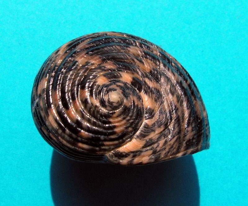 Nerita striata - Burrow, 1815 Nerist12