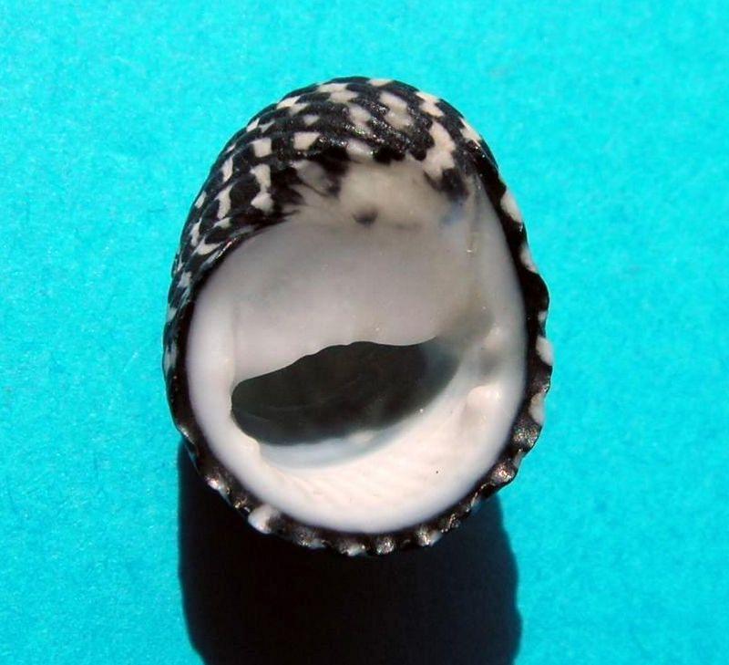 Nerita tessellata - Gmelin, 1791 Nerite11
