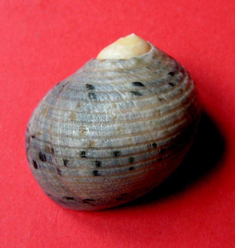 Nerita undulata - Gmelin, 1791 Neriun14