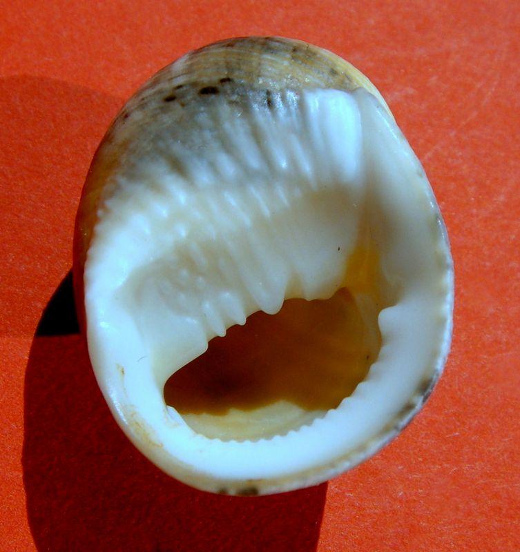 Nerita undulata - Gmelin, 1791 Neriun15