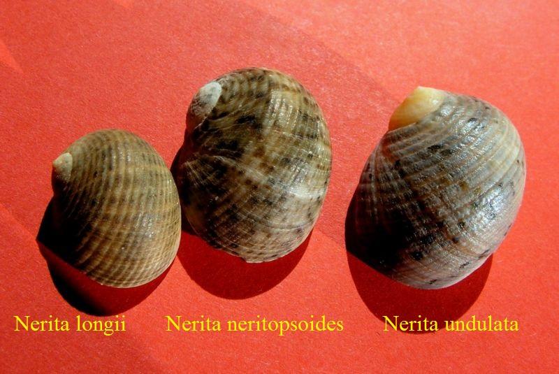 Nerita undulata - Gmelin, 1791 Neriun17