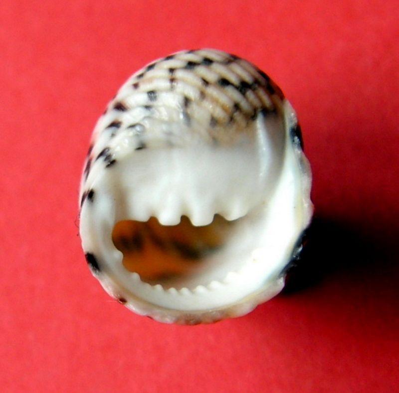 Nerita versicolor - Gmelin, 1791 Nerive11