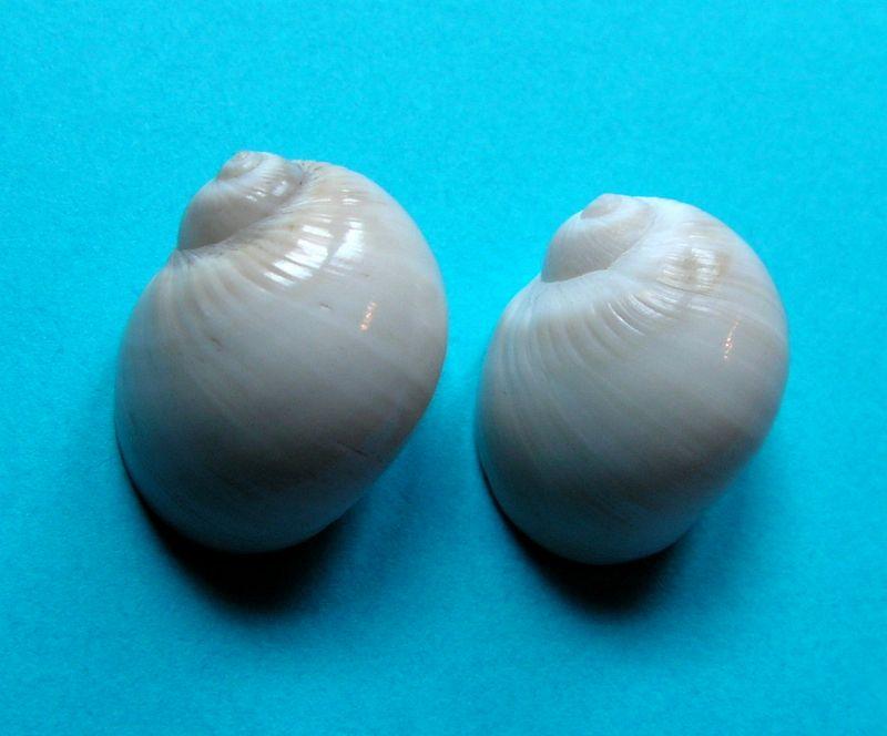 Notocochlis gualteriana - (Récluz, 1844) Notogu12