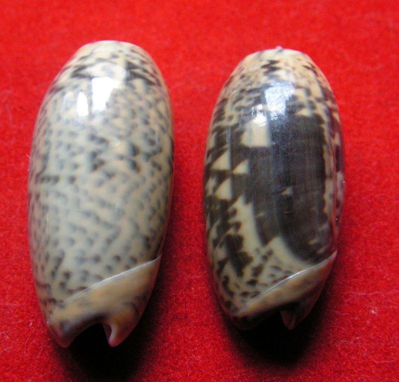 Carmione keeni (Marrat, 1870) - Worms = Oliva keenii Marrat, 1870 Okee1010
