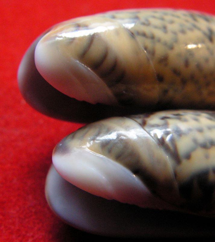 Carmione keeni (Marrat, 1870) - Worms = Oliva keenii Marrat, 1870 Okee1710