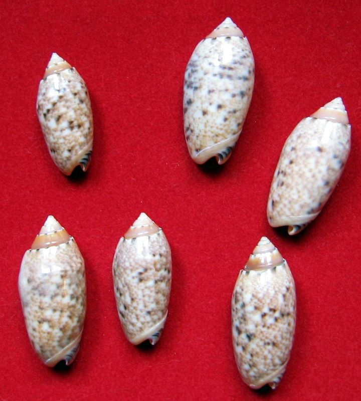 Annulatoliva annulata mantichora (Duclos, 1840) voir Annulatoliva mantichora (Duclos, 1840) Oliame11