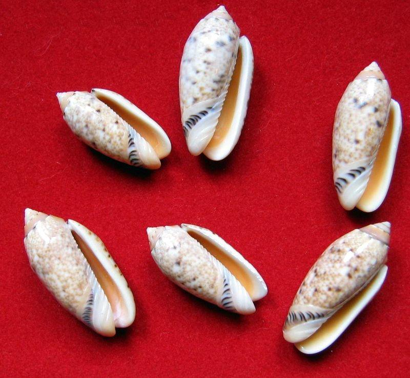 Annulatoliva annulata intricata (Dautzenberg, 1927) - Worms = Oliva mantichora intricata Dautzenberg, 1927 Oliame12