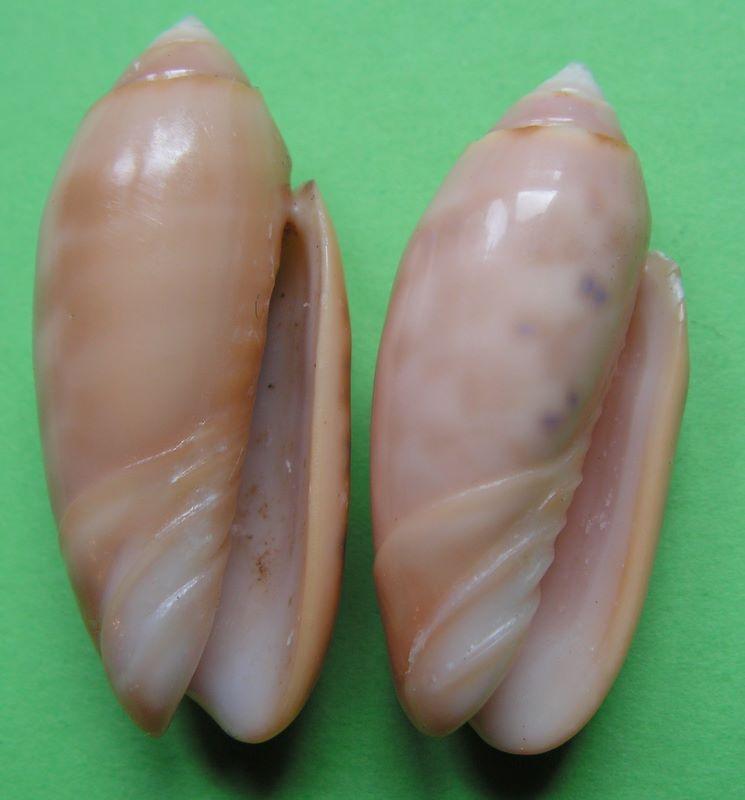 Annulatoliva annulata amethystina (Röding, 1798) - Worms = Oliva amethystina amethystina (Röding, 1798) Oliann12