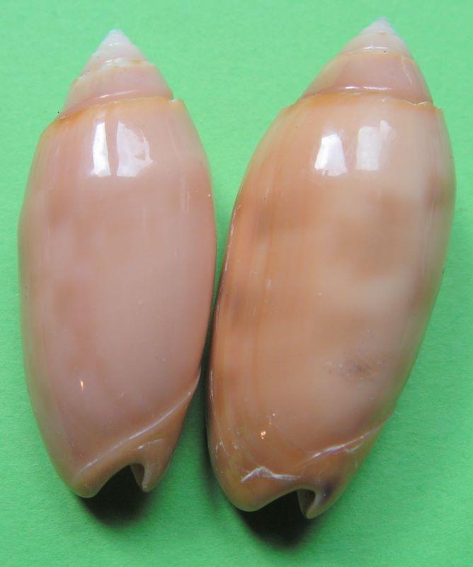 Annulatoliva annulata amethystina (Röding, 1798) - Worms = Oliva amethystina amethystina (Röding, 1798) Oliann13