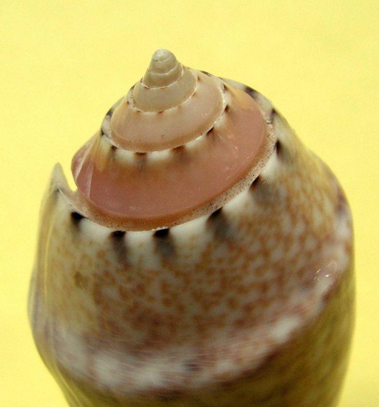 Annulatoliva mantichora (Duclos, 1840) - Worms = Oliva mantichora Duclos, 1840 Oliann16