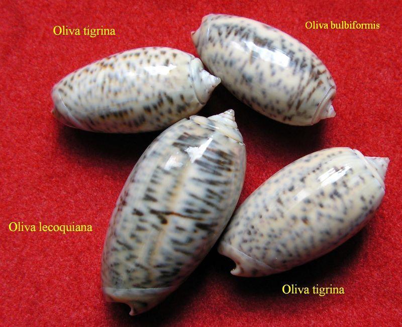 Carmione lecoquiana (Ducros de St Germain, 1857) - Worms = Oliva lecoquiana Ducros de Saint Germain, 1857 Olilec10