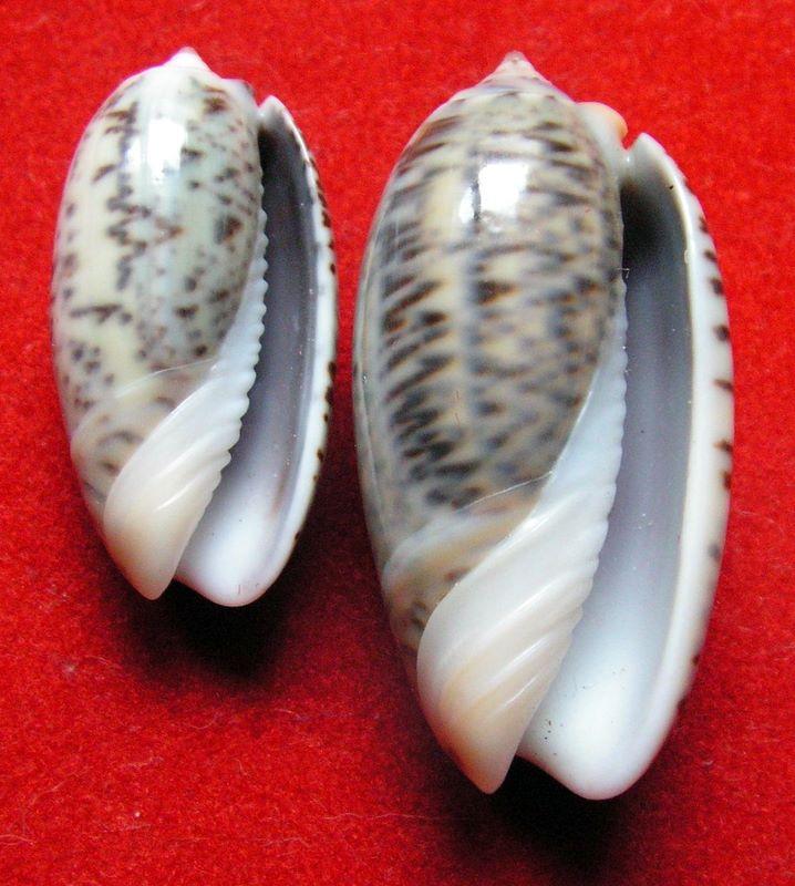 Carmione lecoquiana (Ducros de St Germain, 1857) - Worms = Oliva lecoquiana Ducros de Saint Germain, 1857 Olilec11