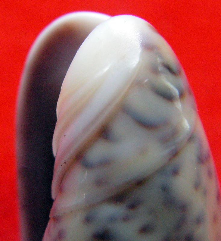 Carmione lecoquiana (Ducros de St Germain, 1857) - Worms = Oliva lecoquiana Ducros de Saint Germain, 1857 Olilec13