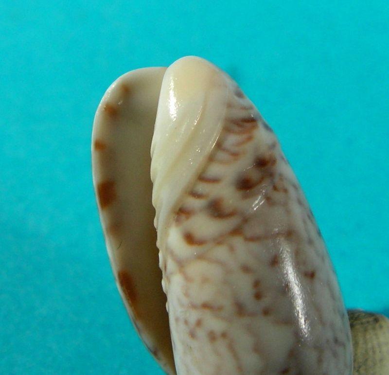 Americoliva reclusa (Marrat, 1871) - Worms = Oliva reclusa Marrat, 1871 Olirec13