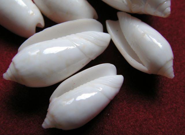 Americoliva reticularis olorinella (Duclos, 1835) - Worms = Americoliva reticularis (Lamarck, 1811) Oliret14