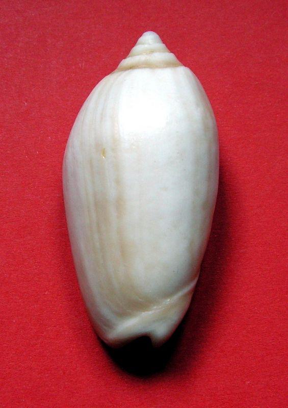 Americoliva tisiphona (Duclos, 1844) - Fossile Olitis10