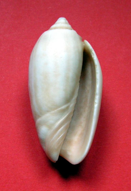 Americoliva tisiphona (Duclos, 1844) - Fossile Olitis11